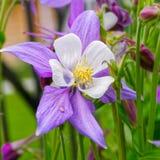 Λουλούδι Columbine Στοκ Εικόνα