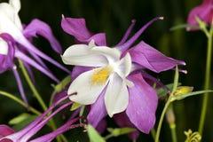 Λουλούδι Columbine (Aquilegia) Στοκ Φωτογραφίες