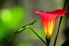 Λουλούδι Convolvulaceae beraviensis Stictocardia στοκ εικόνες με δικαίωμα ελεύθερης χρήσης