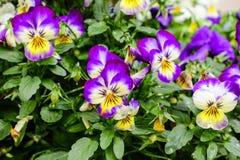 Λουλούδι cornuta Viola στοκ φωτογραφία