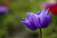 Λουλούδι coronaria Anemone Στοκ Εικόνες