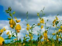 Λουλούδι Crotalaria Στοκ εικόνες με δικαίωμα ελεύθερης χρήσης