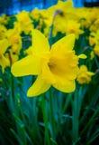 Λουλούδι Daffodil (νάρκισσοι) Στοκ Φωτογραφίες