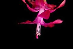 Λουλούδι Decembrist Schlumberger Απομονωμένη μαύρη ανασκόπηση Στοκ εικόνα με δικαίωμα ελεύθερης χρήσης
