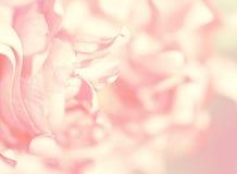 Λουλούδι Defocused των τριαντάφυλλων Πλάτη ημέρας βαλεντίνων ` s και ημέρας μητέρων ` s Στοκ φωτογραφία με δικαίωμα ελεύθερης χρήσης