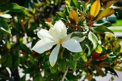 Λουλούδι denudata Magnolia Στοκ Εικόνες