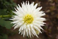 Λουλούδι Dhalia Στοκ φωτογραφία με δικαίωμα ελεύθερης χρήσης