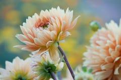 Λουλούδι Dhalia Στοκ Φωτογραφία