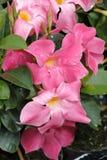 Λουλούδι Dipladenia Στοκ εικόνα με δικαίωμα ελεύθερης χρήσης