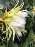 Λουλούδι Dragonfruit Στοκ Εικόνα