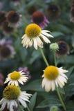 Λουλούδι - Echinacea - πνεύμα της Cheyenne στοκ εικόνα με δικαίωμα ελεύθερης χρήσης