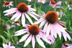 Λουλούδι Echinacea Στοκ φωτογραφία με δικαίωμα ελεύθερης χρήσης
