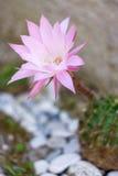 Λουλούδι Echinopsis Oxygona κάκτων Στοκ φωτογραφία με δικαίωμα ελεύθερης χρήσης