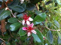 Λουλούδι Feijoa Στοκ εικόνα με δικαίωμα ελεύθερης χρήσης