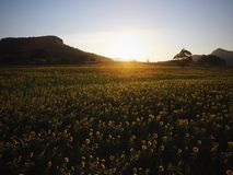 Λουλούδι Filde ήλιων Στοκ Φωτογραφία