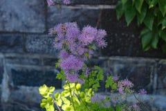 Λουλούδι Filipendula Στοκ εικόνες με δικαίωμα ελεύθερης χρήσης