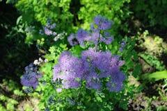 Λουλούδι Filipendula Στοκ εικόνα με δικαίωμα ελεύθερης χρήσης