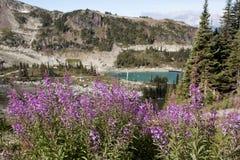 Λουλούδι Fireweed στην αιχμή συριστήρων στοκ φωτογραφίες με δικαίωμα ελεύθερης χρήσης