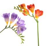 Λουλούδι Floxia Στοκ Εικόνες
