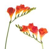 Λουλούδι Floxia Στοκ φωτογραφία με δικαίωμα ελεύθερης χρήσης