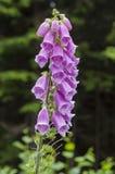 Λουλούδι Foxglove στοκ εικόνες με δικαίωμα ελεύθερης χρήσης