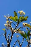 Λουλούδι Frangipani ή λουλούδι Leelawadee Στοκ Εικόνες