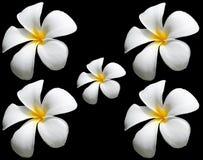 Λουλούδι Frangipani ή λουλούδι Plumeria που απομονώνεται σε μαύρο Backgroun Στοκ φωτογραφία με δικαίωμα ελεύθερης χρήσης