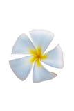 Λουλούδι Frangipani ή τροπικό λουλούδι Plumeria που απομονώνεται Στοκ Εικόνα