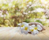 Λουλούδι Frangipani ή plumeria στο κοχύλι θάλασσας conch στο ενωμένο ξύλο Στοκ φωτογραφίες με δικαίωμα ελεύθερης χρήσης