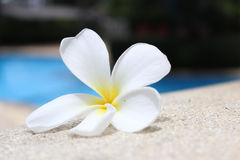 Λουλούδι Frangipani από τη λίμνη Στοκ Εικόνες