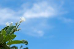 Λουλούδι Frangipani, λουλούδι plumeria, άσπρο plumeria με το μπλε ουρανό Στοκ Εικόνα