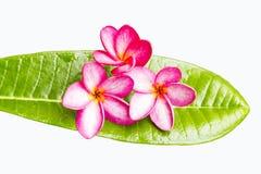 Λουλούδι Frangipani/λουλούδι plumeria στο πράσινο φύλλο Στοκ φωτογραφίες με δικαίωμα ελεύθερης χρήσης