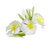 Λουλούδι Frangipani που απομονώνεται στο άσπρο υπόβαθρο Στοκ φωτογραφία με δικαίωμα ελεύθερης χρήσης