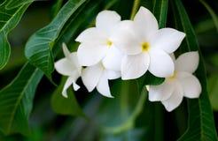 Λουλούδι Frangipani Στοκ Φωτογραφία