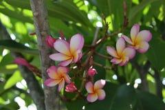 Λουλούδι Frangipani Στοκ φωτογραφίες με δικαίωμα ελεύθερης χρήσης