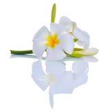 Λουλούδι Frangipani Στοκ φωτογραφία με δικαίωμα ελεύθερης χρήσης