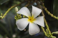 Λουλούδι Frangipani Στοκ Φωτογραφίες