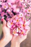 Λουλούδι frangipani Plumeria στα χέρια γυναικών σε ένα όμορφο διακοσμητικό ρόδινο υπόβαθρο sakura Στοκ φωτογραφία με δικαίωμα ελεύθερης χρήσης