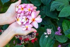 Λουλούδι frangipani Plumeria στα χέρια γυναικών σε ένα όμορφο υπόβαθρο φύσης Στοκ Εικόνες