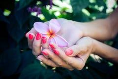 Λουλούδι frangipani Plumeria στα χέρια γυναικών σε ένα όμορφο υπόβαθρο φύσης Στοκ Εικόνα