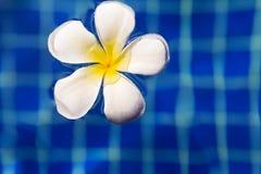 Λουλούδι frangipani Plumeria στην πισίνα Στοκ Εικόνες