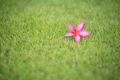 Λουλούδι Frangipani (plumeria) στην πράσινη χλόη Στοκ Εικόνες