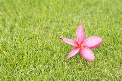 Λουλούδι Frangipani (plumeria) στην πράσινη χλόη Στοκ Φωτογραφία