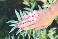 Λουλούδι frangipani Plumeria στο χέρι γυναικών σε ένα όμορφο υπόβαθρο φύσης Στοκ Εικόνα