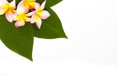 Λουλούδι frangipani Plumeria Στοκ Εικόνα