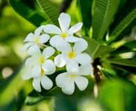 Λουλούδι Frangipani (plumeria) Στοκ Εικόνα