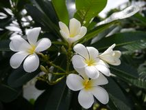 Λουλούδι Frangipani (Plumeria) Στοκ Φωτογραφίες