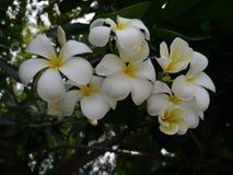 Λουλούδι Frangipani (Plumeria) Στοκ Φωτογραφία