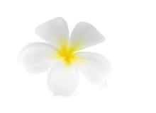Λουλούδι Frangipani plumeria Spa που απομονώνεται στο άσπρο υπόβαθρο Στοκ φωτογραφία με δικαίωμα ελεύθερης χρήσης