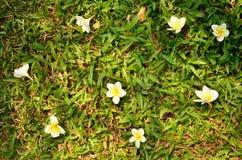 Λουλούδι Frangipani plumeria Spa στην πράσινη χλόη Στοκ φωτογραφία με δικαίωμα ελεύθερης χρήσης